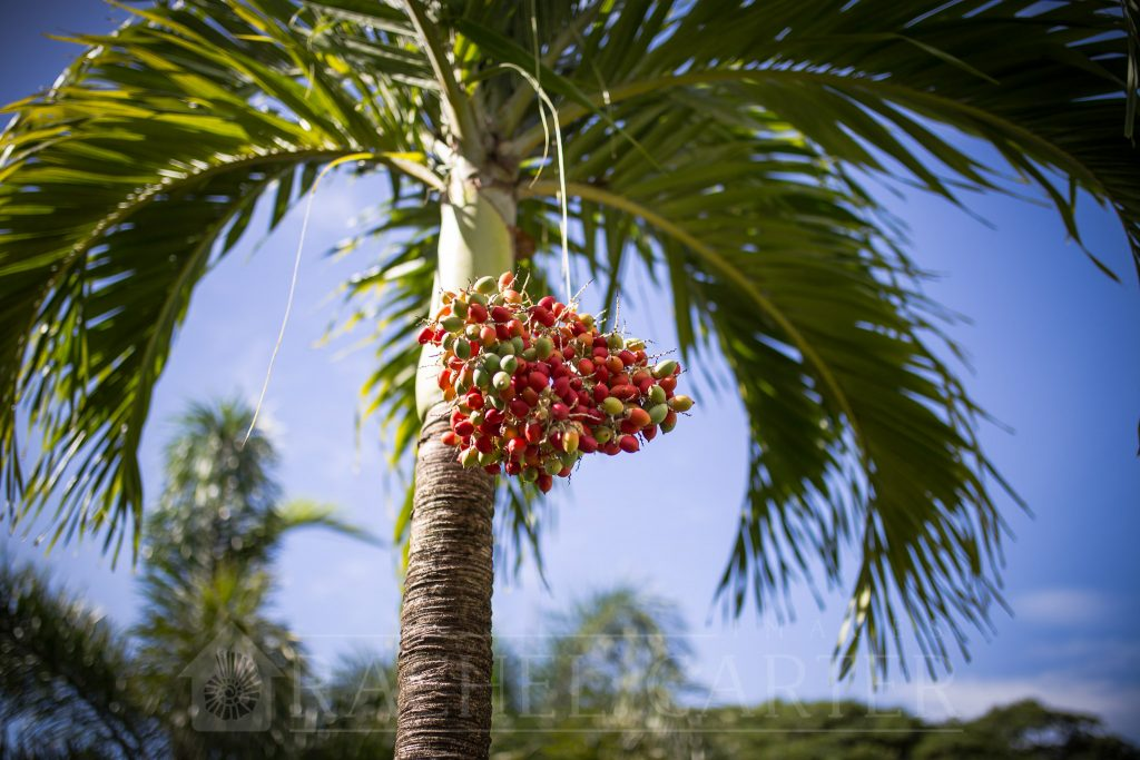 Palm tree in St. Kitts, taken with my Sigma 35mm F1.4 Art DG HSM Lens for Canon - Rachel Carter Images