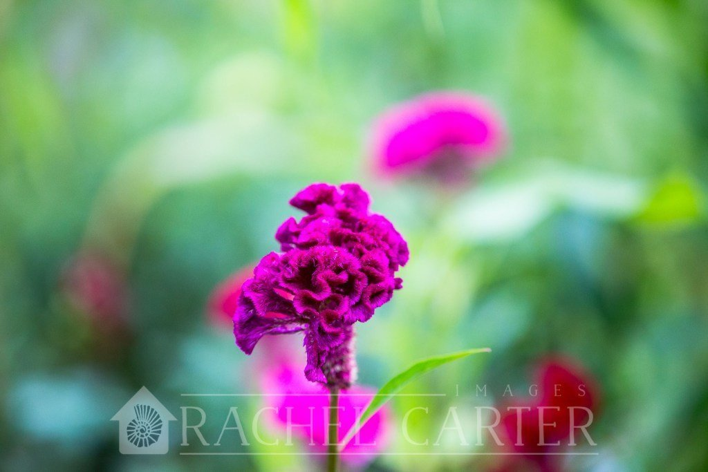 Rachel Carter Images - Planted Flower Farm - Understanding Bokeh and Aperture Photography